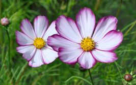 SHIPPED From US,PREMIUM SEED:Cosmos Picotee 100 Seeds - $16.99