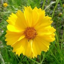 Lanceleaf Coreopsis Seeds - Flower Seeds - Starts Nursery - Outdoor Living - $25.50+