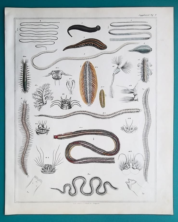 Primary image for WORMS Leeches Marine Sea Life - 1843 HC Color Print