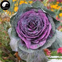 Buy Purple Leaf Cabbage Vegetable Seeds 150pcs Plant Brassica Oleracea - $5.99