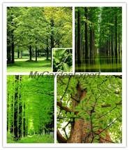 30pcs Dawn Redwood Seeds, Metasequoia glyptostroboides Seeds, Giant Tree... - $9.40