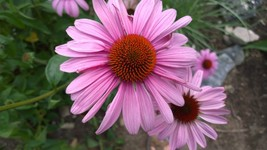 Organic Native Plant, Purple Coneflowwer, Echinacea purpurea - $3.50