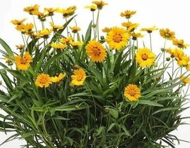 2 Variety Perfect Grow Coreopsis Sunfire Flower Fresh Seeds #TLM1 - $19.99+