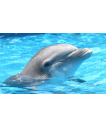 Dolphin 13 x 19 Unmatted Photograph - $35.00