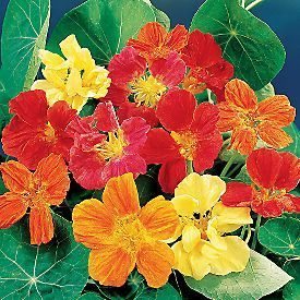 50 HEIRLOOM Nasturtium, eatable plant  Mix  SEEDS