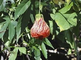 1 Pcs of 1.16 qt Abutilon 'Tiger Eye', Flowering Maple - $75.24