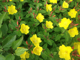 (12) Easy To Grow Perennial Sundrops (Primrose), 12 Plants, Yellow Flowers - $28.09