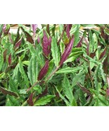 Okinawa Spinach starter plant - $11.88