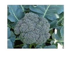 250 semences WALTHAM BROCOLI 29 frais Adéquat pour Farmers marchés heirloom - $2.68