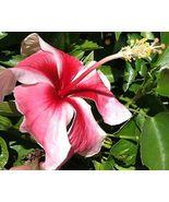 TAHITIAN MAID Tropical Rare Heirloom Hibiscus Plant Pink White Pinwheel Flower - $1.269,38 MXN