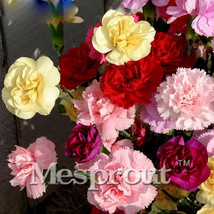 100seeds Mix Carnation Balcony Potted Courtyard Plants Dianthus Caryophy... - $2.99