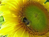 SUNFLOWER 1oz - SAMPLE Candle Fragrance Oil FO