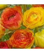 Ranunculus Picotee Orange Bulbs-5 bulbs  - $9.99