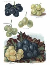 Vintage Fruit Prints: Gros Maroc - Fruit Growers Guide - 1880 - $12.82+