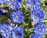 SHIP From US, 750 Seeds Dwarf Blue Bachelor Button, DIY Decorative Plant ZJ
