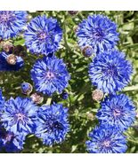 SHIP From US, 750 Seeds Dwarf Blue Bachelor Button, DIY Decorative Plant ZJ - $22.47