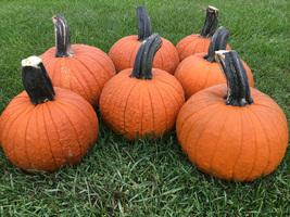 Pumpkin Seeds - Thumpkin  - Gardening -  Outdoor Living - FREE SHIPPING - $36.99+