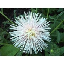 White Needle Aster Callistephus Unicom Flower 30 Seeds #SFB11 - $18.17