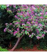 SHIP From US Purple Orchid Tree Seeds (Bauhinia purpurea) 5+Seeds UTS2 - $24.99