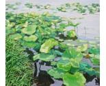 Lotus pond  90 x 100 thumb155 crop