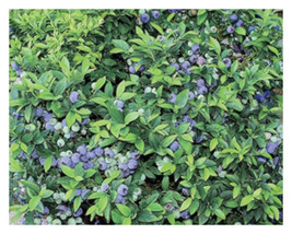 "1 Top Hat Dwarf Blueberry Bush ( Vaccinium ) - Live Plant 2.5"" Pot  - $47.00"