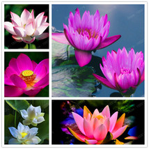 """ShopeID Store"" 20 Mix Color Water lily Flower Seeds hydroponic ( aquatic) - $3.55"
