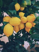 Grafted Lemon MEYER Live Tree Big Plant - $59.07