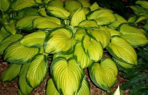 1 Qt Potted Plant of Stained Glass Hosta Hardy Established Heavy Rooted Perennia