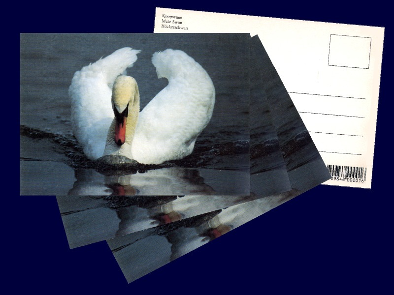 4 pcs. Mute Swan, Postcard Photographed and Printed in Denmark in the 1980s