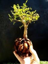 Operculicarya Decaryi Bonsai- Natural bonsai - Very old plant - $95.90