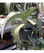 """Rare & Exotic Tropical Succulent Plant """"Donkey Ears"""" - $8.95"""