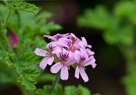 """1 Live Plants 4"""" - Non GMO - Mosquito Repellent - Citronella Geranium - $34.00"""