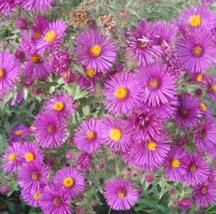100pcs Very Enchanting Aster Novi-belgii Flower Seeds IMA1 - $15.99