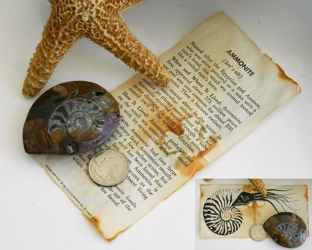 Ammonite Marine Fossil Sea Animal Shell Front Polished 1962