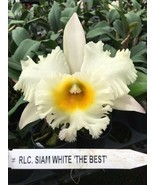 Rlc. Siam White 'The Best' CATTLEYA Orchid Plant Pot BLOOMING SIZE 0504 F - $21.60