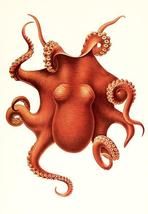 Octopus - Polypus Levis Hoyle - Male - 1899 - Marine Illustration Poster - $9.99+