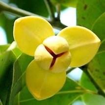 *UNCLE CHAN* SEED Melodorum fruticosum White cheesewood flower Lamduan U... - $3.55