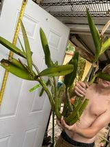 Schomburgkia grandiflora Myrmecophila Species Orchid Plant Blooming 1201f image 3