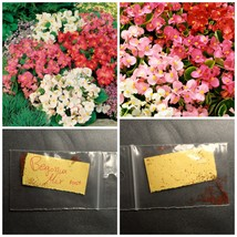 Begonia Flower Mix Color ~100++ Top Quality Seeds - Mix Flower Seeds - C... - $13.98