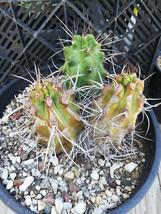 Echinocereus triglochidiatus gonacanthus Red Claret Cup Flower 28 - $19.26