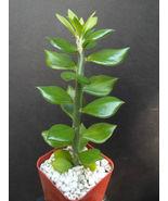 "SHIP From US, 4"" pot Pereskiopsis Spathula, succulent plant cacti ECC - $32.99"