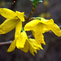 20 Seeds/Bag Forsythia Seeds Spring Yellow Flow... - $5.39