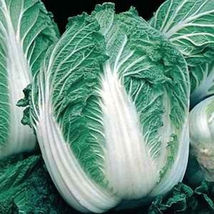 SHIP From US, 50 Seeds Michihili Chinese Cabbage, DIY Healthy Vegetable AM - $21.99