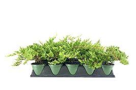 Dwarf Japanese Garden Juniper | 5 Live 4 Inch Pots | Juniperus Procumben... - £52.75 GBP