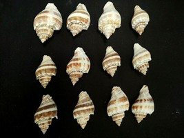 "LOT OF 12 CROWN CONCH SEA SHELLS 2.25"" - 3"" BROWN WHITE OCEAN NAUTICAL D... - $34.99"