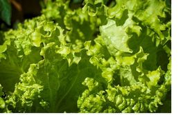SHIPPED From US,PREMIUM SEED:450 Particles of Lettuce Grand Rapid,HandPa... - $30.99