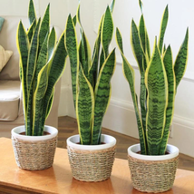 "6"" Pot Sanseveria Snake Plant Mother In Laws Tongue Houseplant Garden - $76.00"