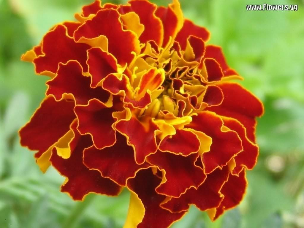 FROM US 400 FRENCH MARIGOLD SPARKY Mixed Colors Calendula Flower SBR - $11.99