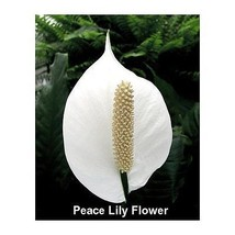 """Peace Lily Plant Flowers Spathyphyllium Great Live House Plant - 6"""" Pot ... - €70,06 EUR"""