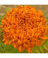 BEST PRICE 100 Seeds Big Blooms French Marigold Garden Flowers,DIY BD773... - $5.88
